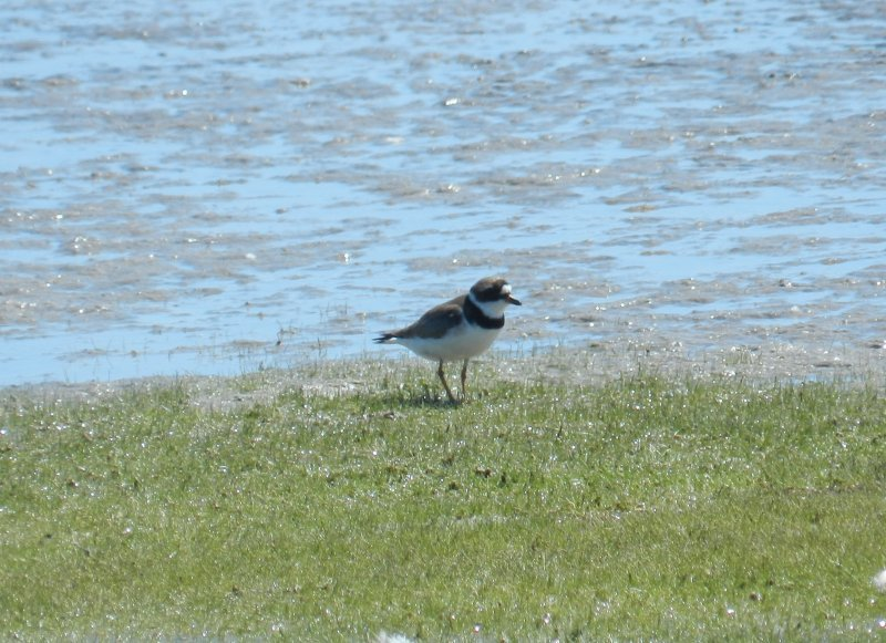 Plover SemiPalmated OBX 2012 a1.JPG