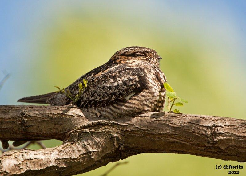 Common Nighthawk. Grafton, WI