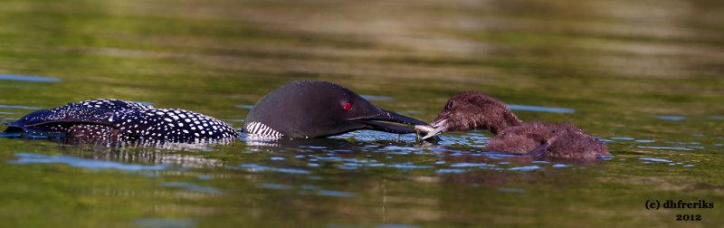 Common Loons. Sylvania Wilderness Area. N. Michigan