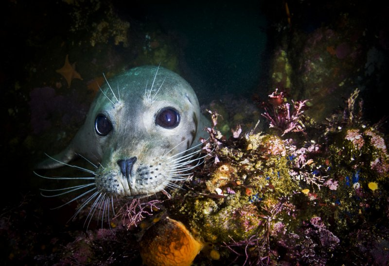 Posing Harbor Seal at Lobos