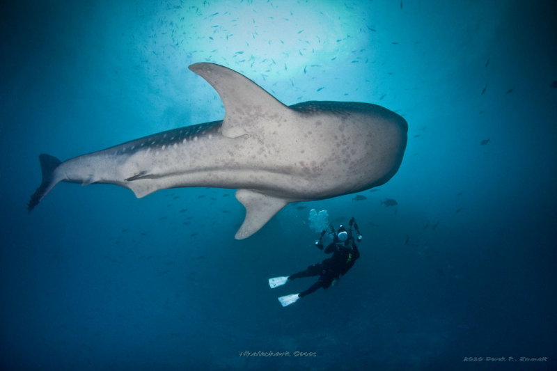Whaleshark and Diver
