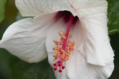 Hibiscus Macro.jpg