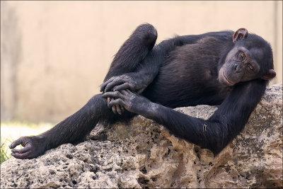 The Chimpanzee Look.