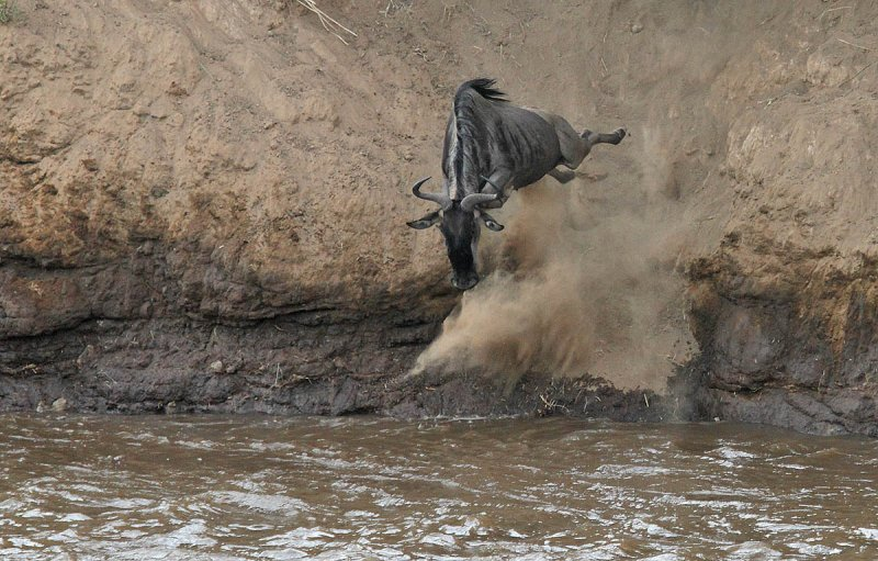 Wildebeest leap of faith