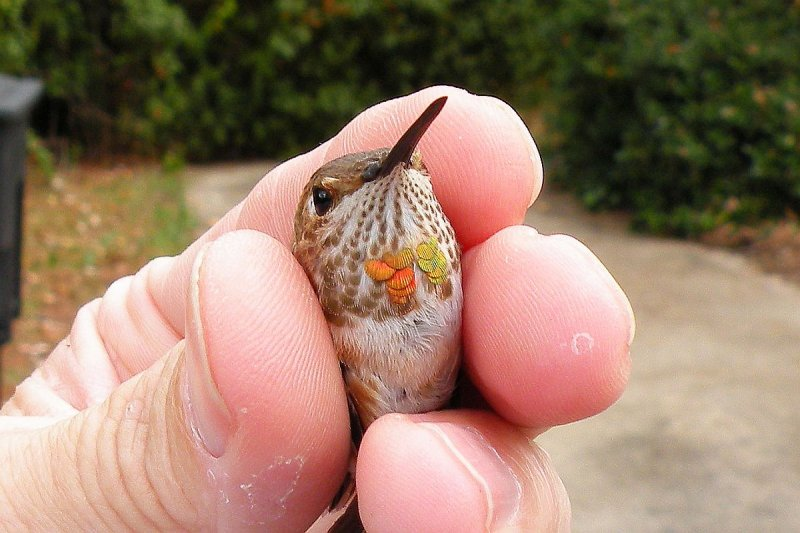 1st year male Rufous - John Armstrong