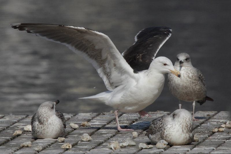 Greater Black-backed Gull, 4Y