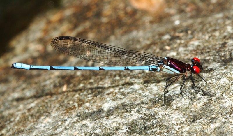 Argia sp. (male)