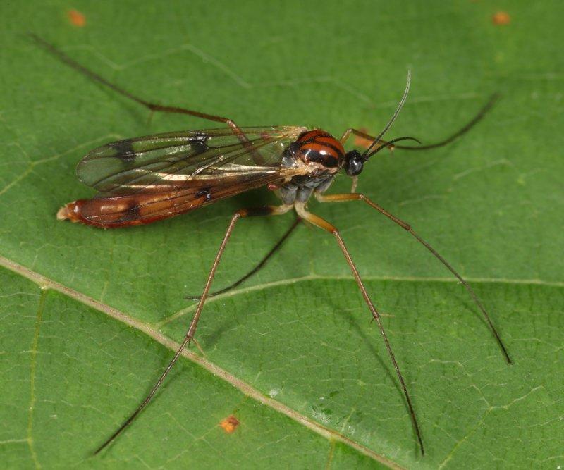Leptomorphus bifasciatus