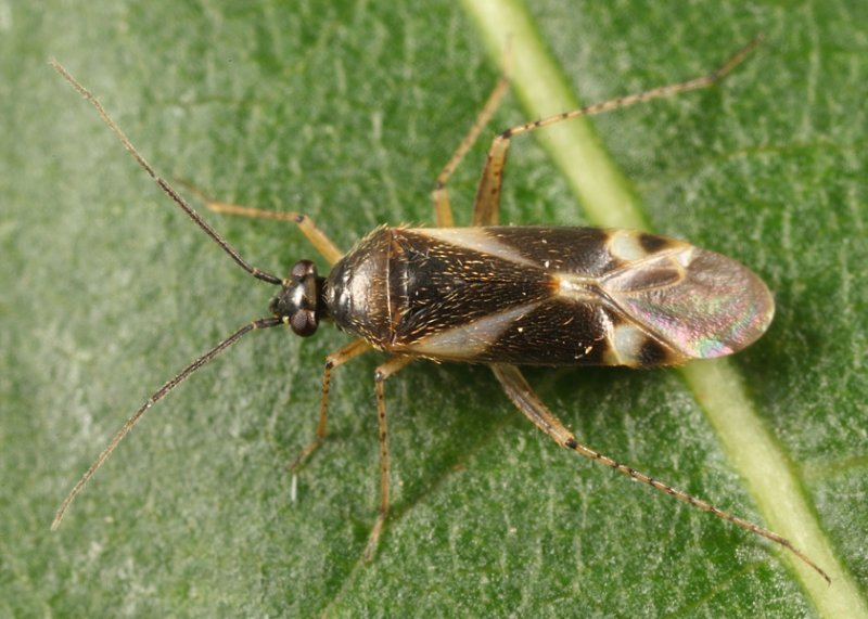 Obscure Plant Bug - Plagiognathus obscurus