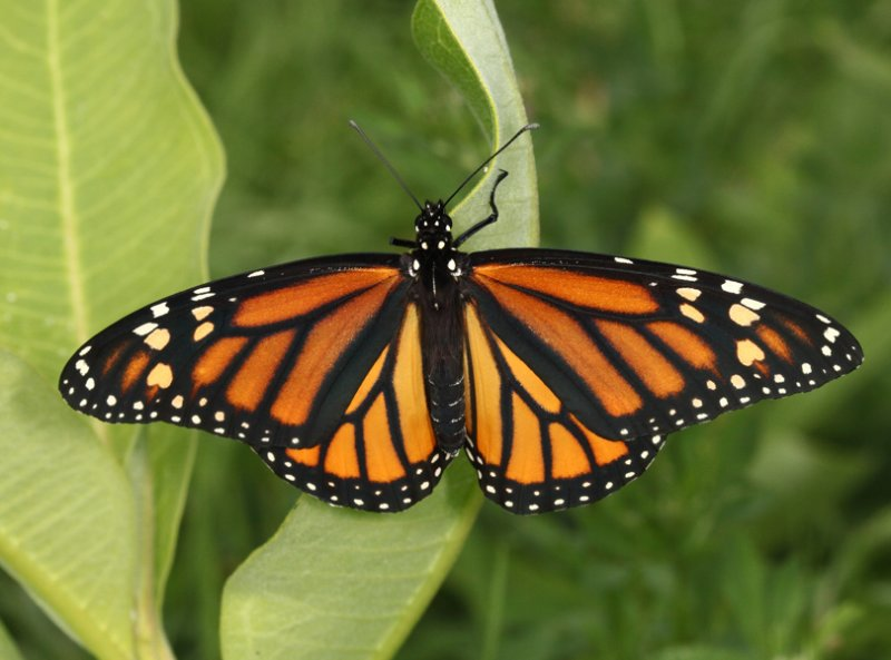 Monarch - Danaus plexippus (female)