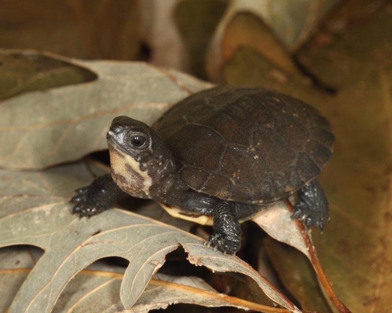 Blandings Turtle - Emydoidea blandingi (hatchling)