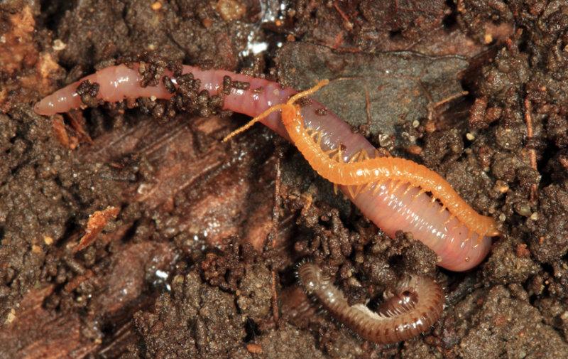 Soil Centipede - Geophilomorpha - Escaryus sp.