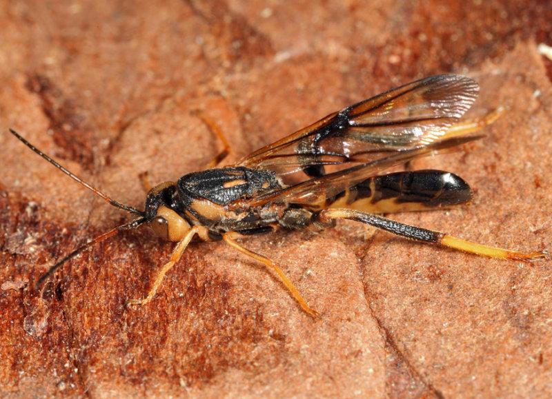 Ibaliid Wasp (Ibaliidae) Ibalia anceps