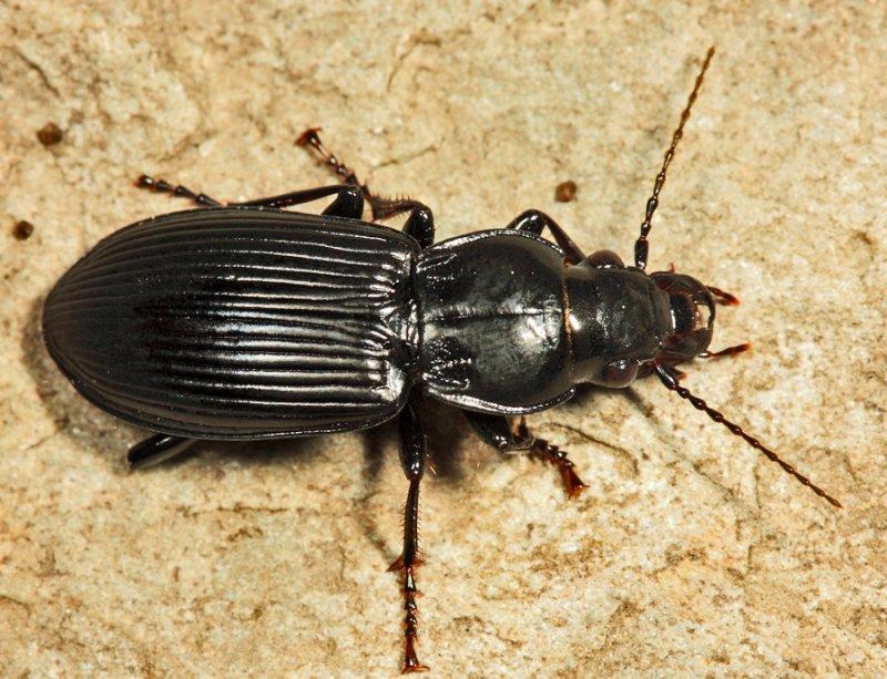 Pterostichus melanarius