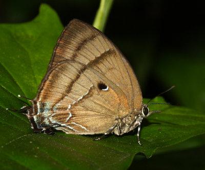 Pale-clubbed Greatstreak - Theritas hemon