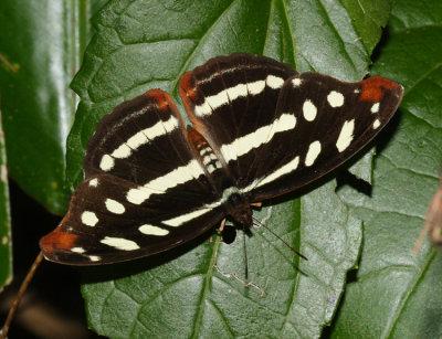 Guatemalan Catone - Catonephele mexicana
