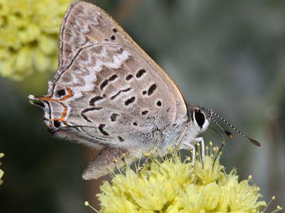 Tailed Copper - Lycaena arota