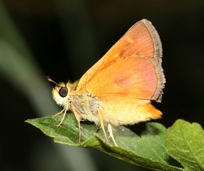 female Rural Skipper - Ochlodes agricola