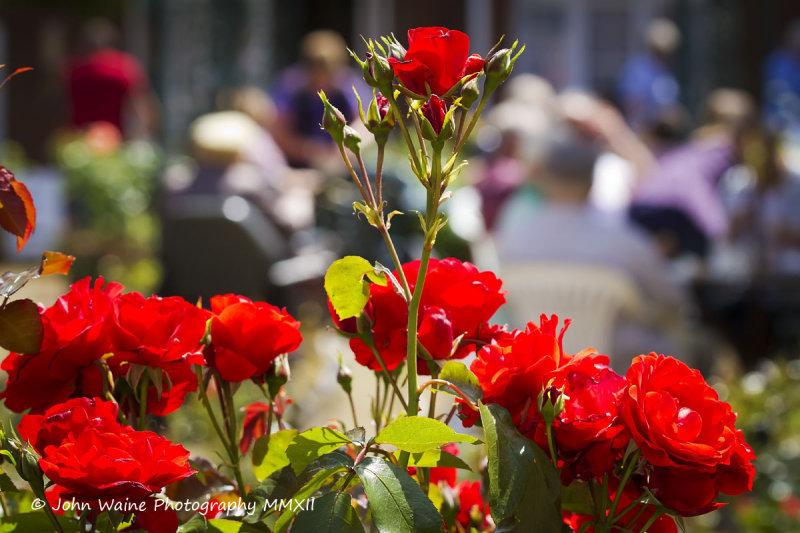 Red Roses In The Tea Garden