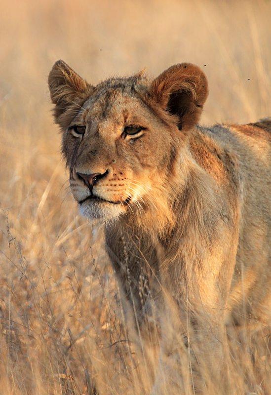 Lion - Kruger