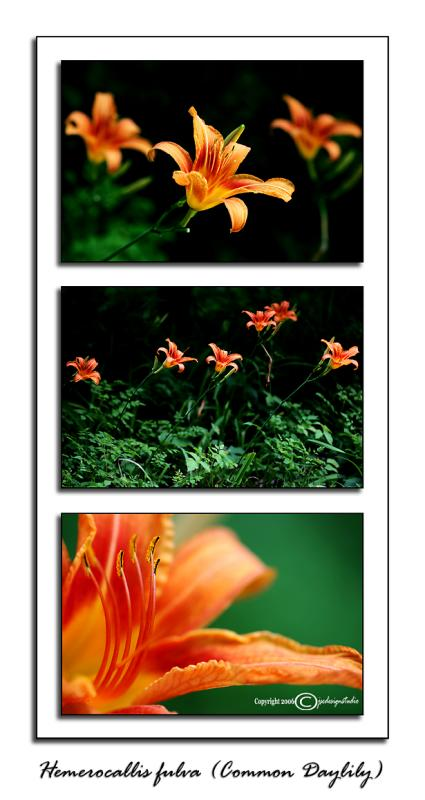 Hemerocallis fulva<br>(<i>Common Daylily</i>)