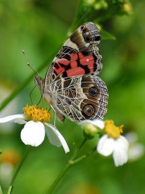 Butterfly gardening 2006-Present