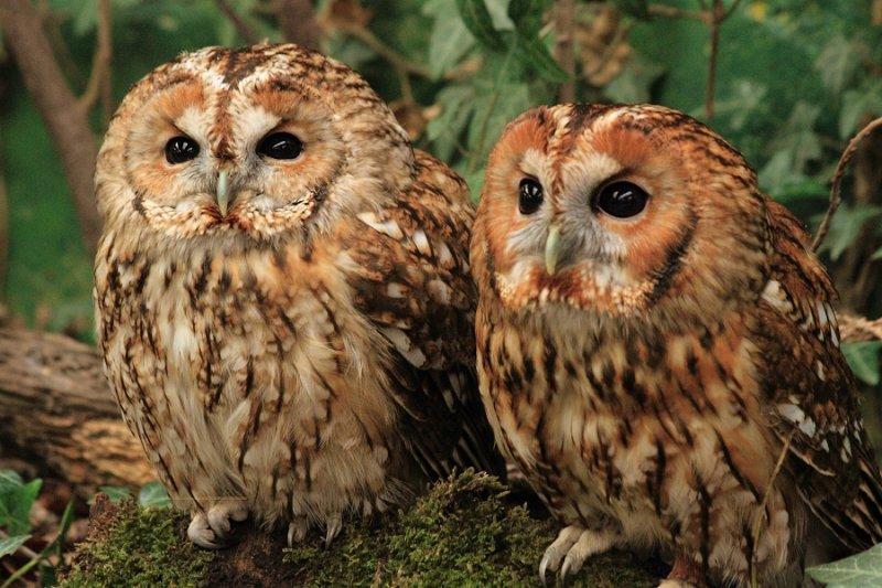 Tawny owl brothers