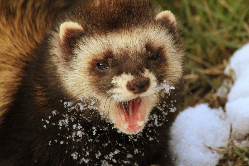 Yawning polecat