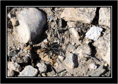 Just a 2.5 inch Tarantula