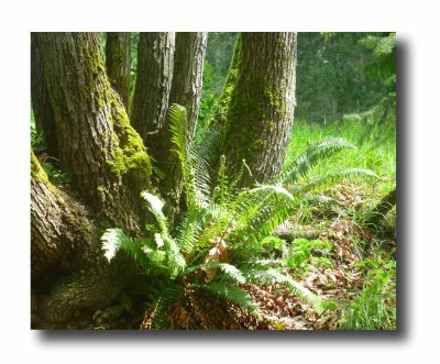 Elk Lake Fern