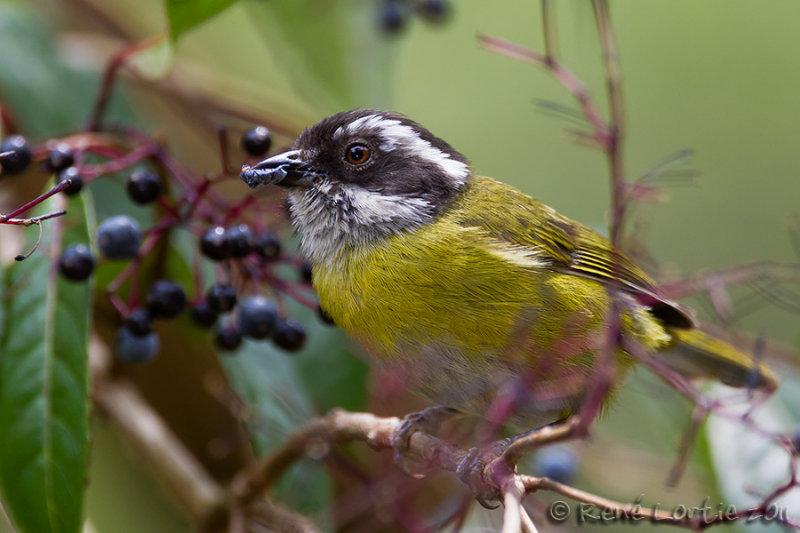Tyran sociable<br>Social Flycatcher<br><i>Myiozetetes similis</i>