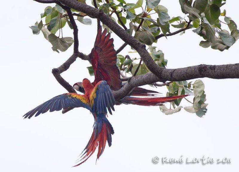 Ara rouge Scarlet Macaw,  Ara macao