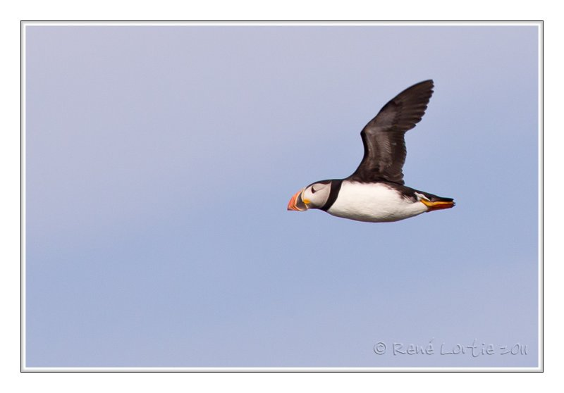 Macareux moine<br>Atlantic Puffin