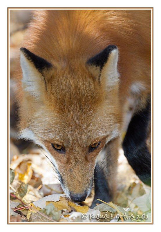 Renard roux<br>Red Fox