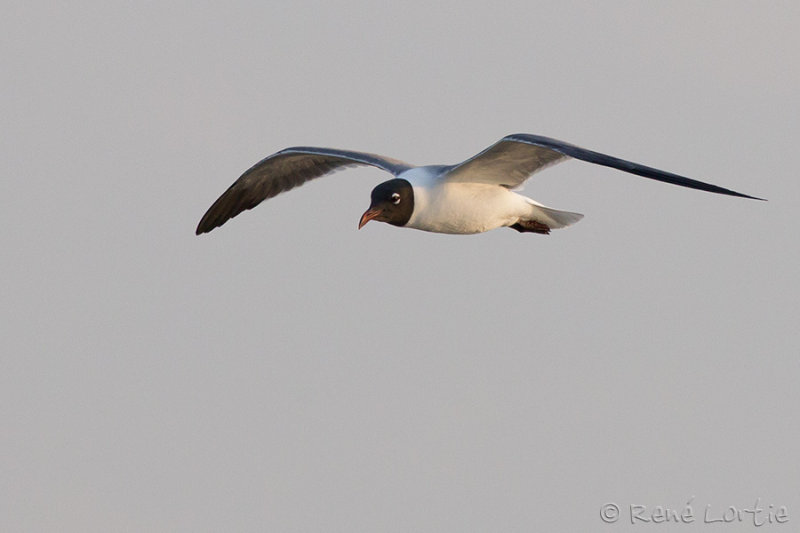 Mouette atricille<br>Laughing Gull