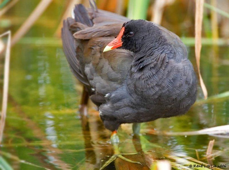 22 juillet 2006 • Gallinule poule-deau / Common Moorhen