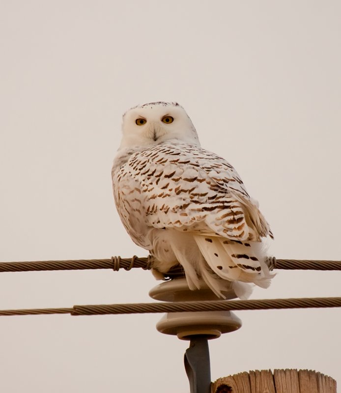 Snowy Owl_9056.jpg