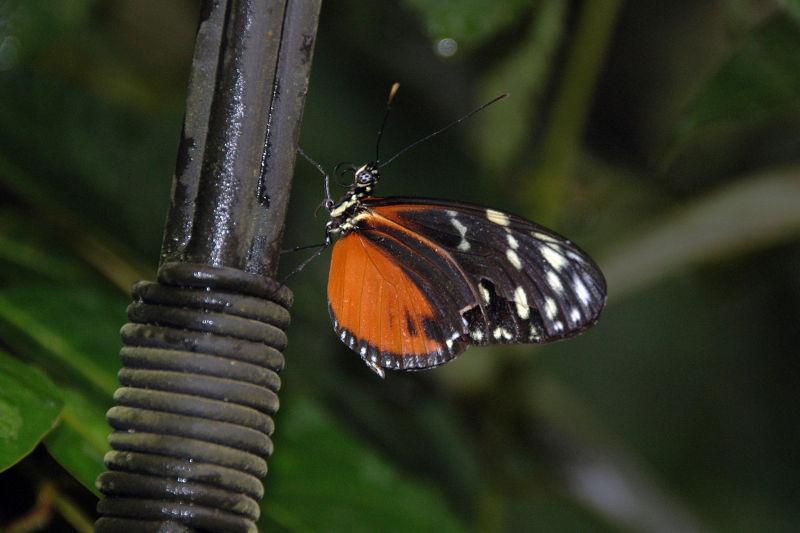 Butterfly in the La Paz Waterfall Garden