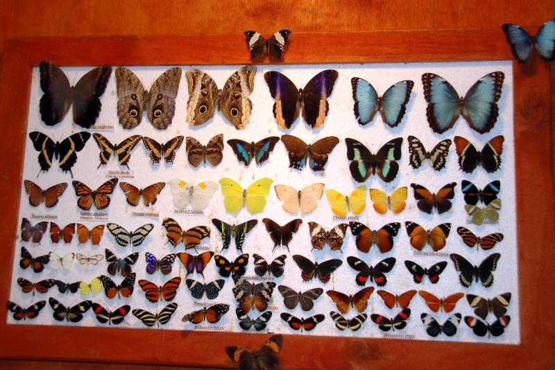Display of the Many Butterflies Found at the La Paz Waterfall Garden