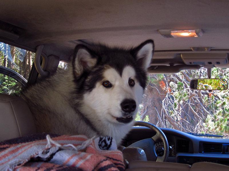 Taiya, Will and Janes beautiful dog #2807