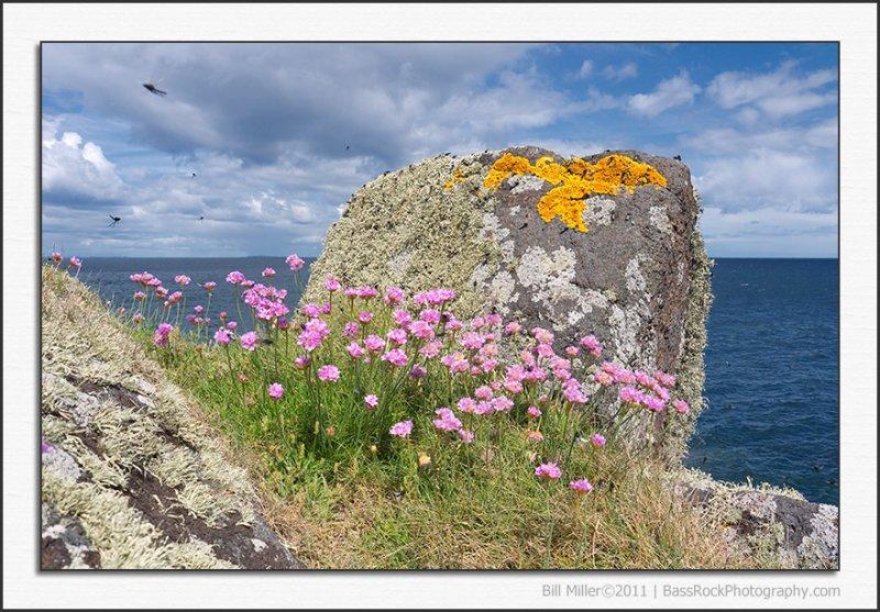 Sea Pinks, Lichen... and Flies