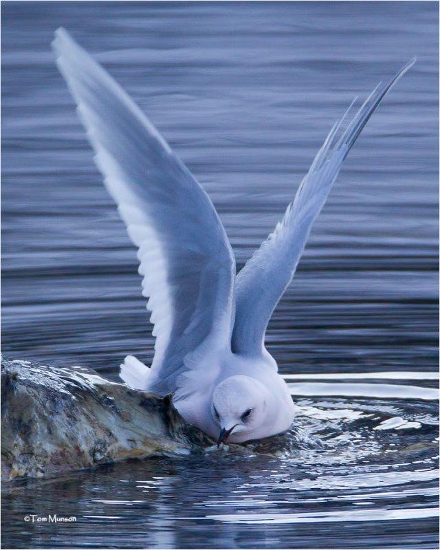 Rosss Gull