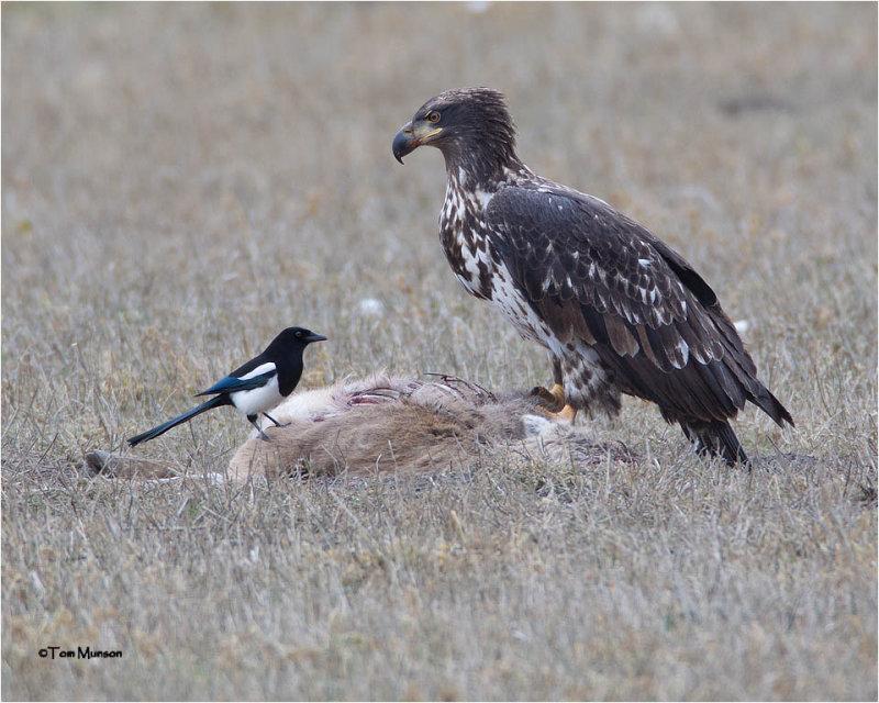 American  Magpie / Bald Eagle