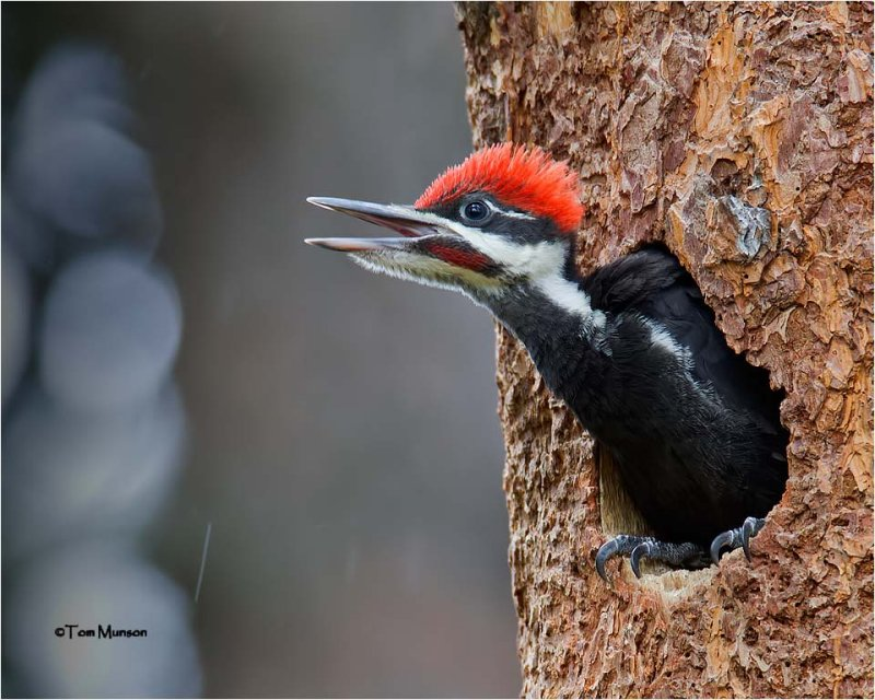 Pileated Woodpecker  male (two days from fledging)