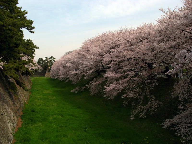 Sakura along the outer castle moat