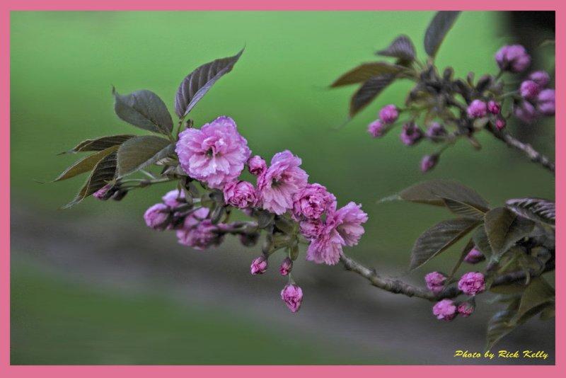 Hurd Park Cherry Blosoms