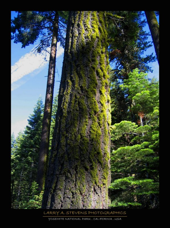 Tree with Moss - YOSEMITE