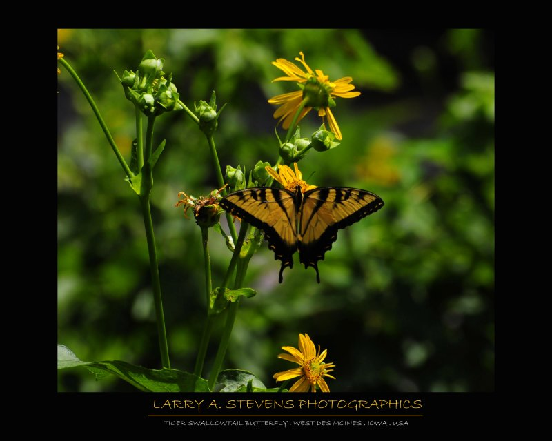 Butterfly - Tiger Swallowtail 2