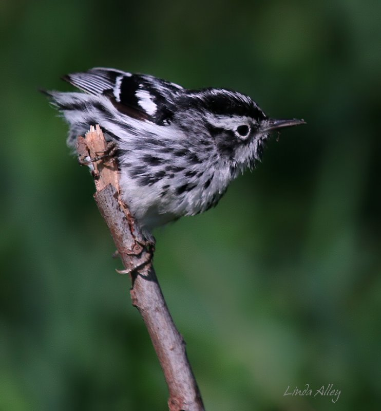 IMG_5556black and white warbler.jpg