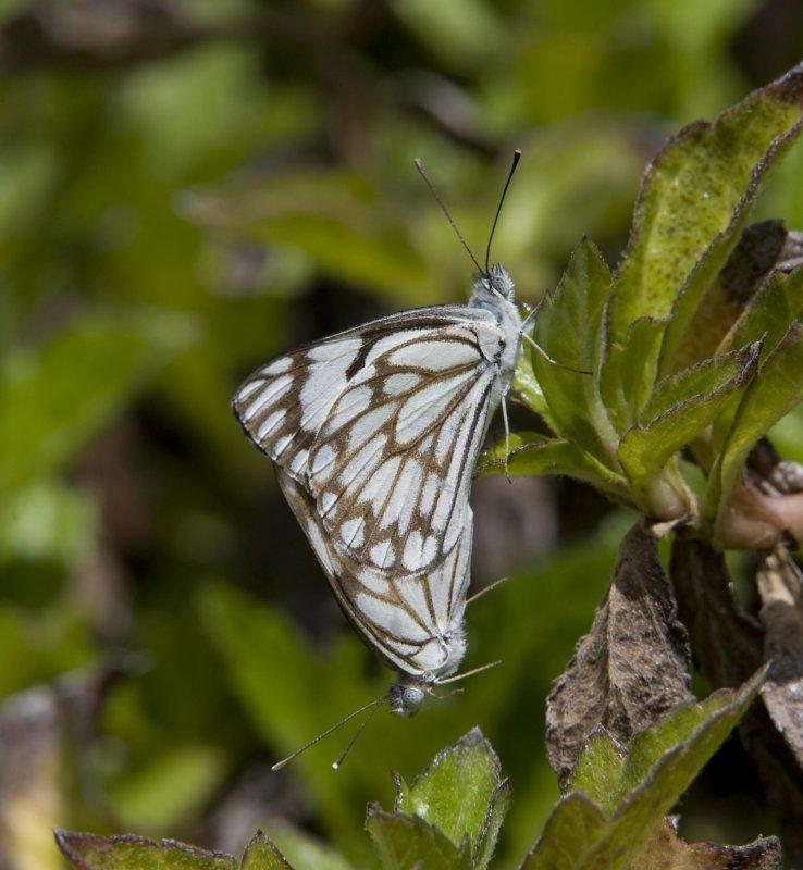 1. Belenois aurota (Fabricius, 1793) - Caper White (normal form)